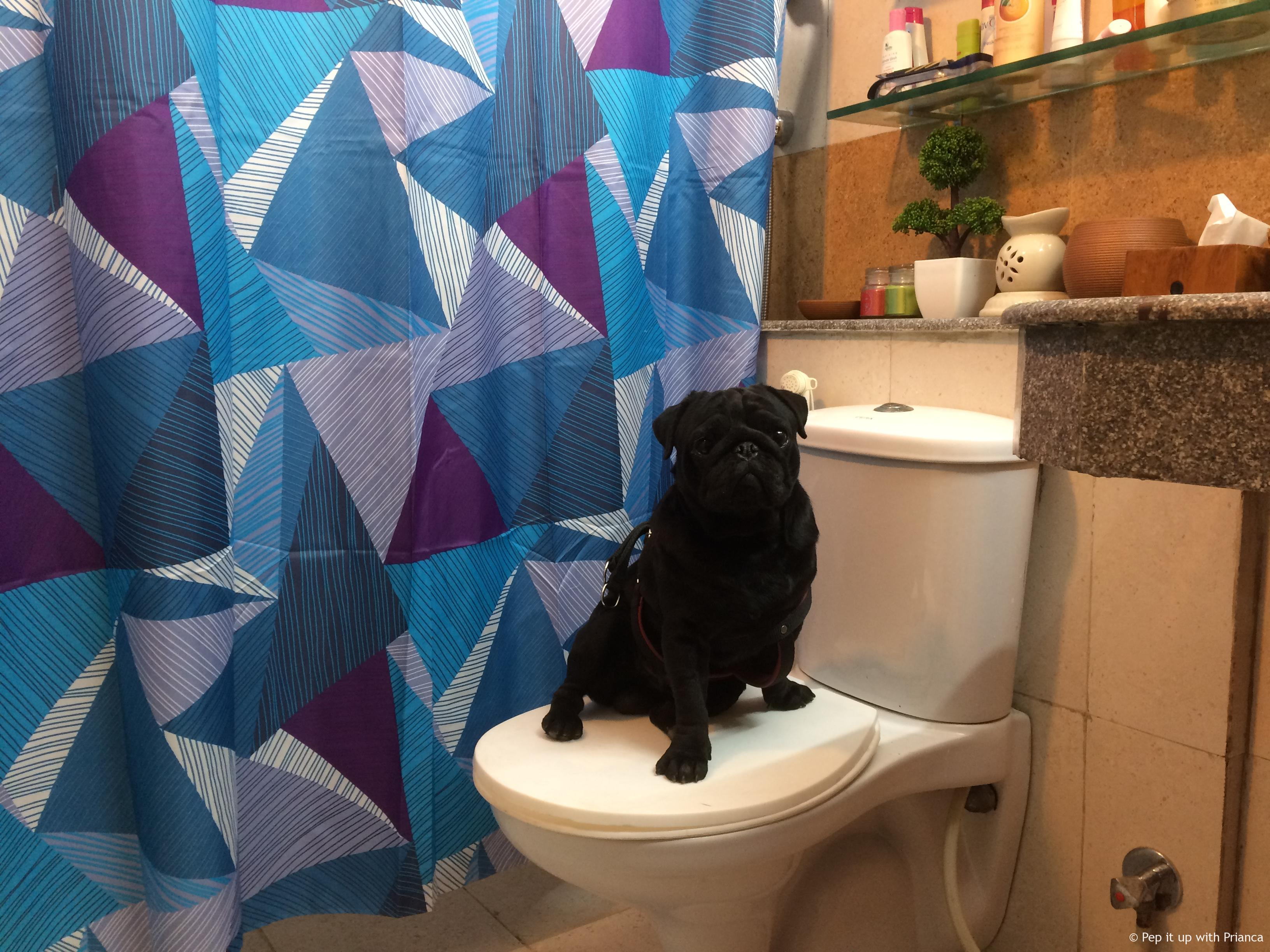 681 - Life's a Pooch - A Day in the Life of a 'Black' Pug!
