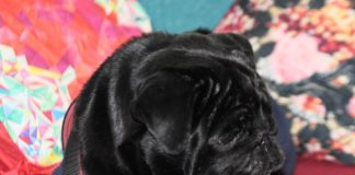 Life in the day of a black pug pooch
