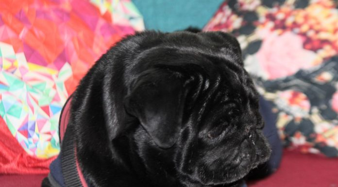 Life in the day of a black pug pooch 696x385 - Home